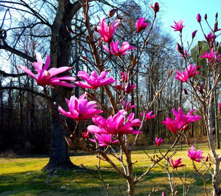 dark pink flowering tulip tree