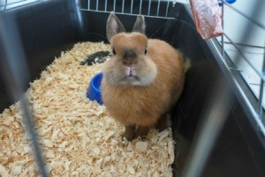 Cute brown bunny in rabbit cage with wood shaving litter