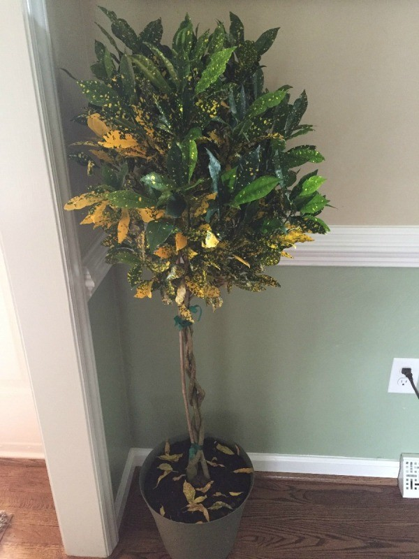tree stye plant with gold specked dark green leaves