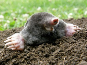 Mole with head up out of a mole mound
