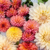 Assorted dahlia blossoms