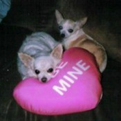 two Chihuahuas with heart pillow