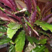 plant with long ruffled med green leaves with purple undersides