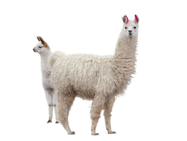 Two white llamas isolated on a white background