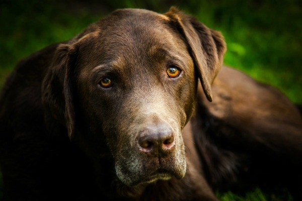 Close-up of a chocolate lab