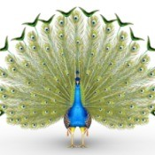 Male peacock with tail feathers spread out