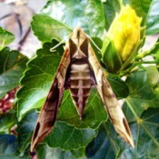tan and brown moth