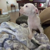white and gray Pit puppy
