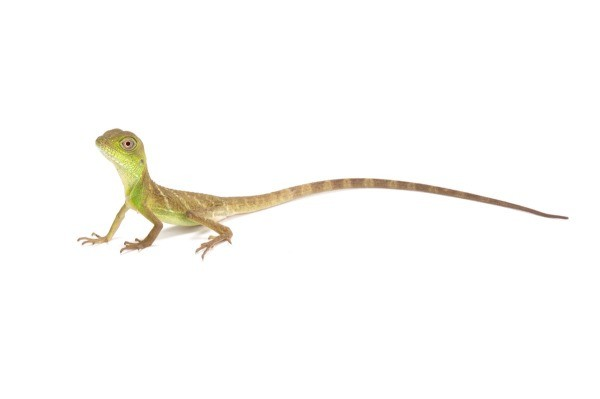 Chinese Water Dragon lizard on a white background