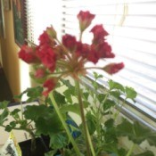 red flowering geranium