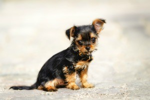 Yorkshire Terrier Chihuahua Mix
