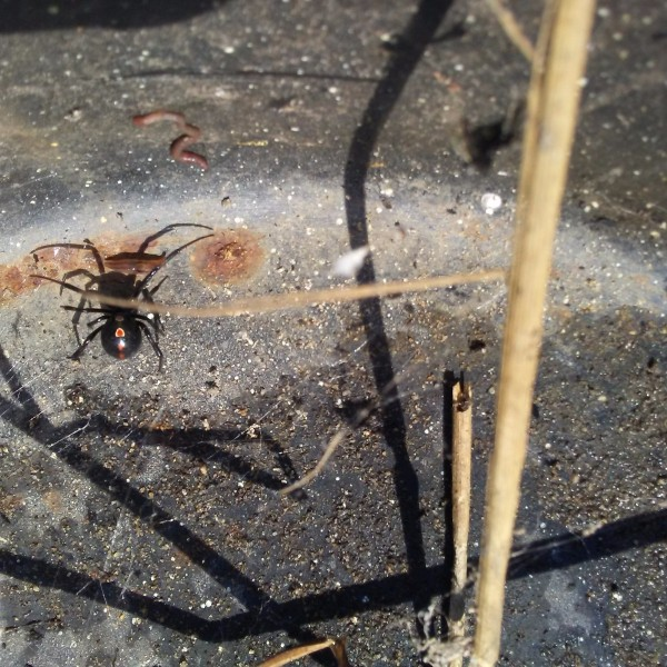 male black widow spider under a flowerpot