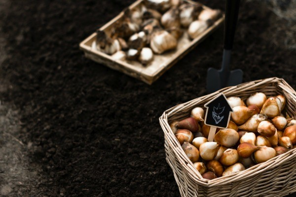 Some bulbs being stored for spring.