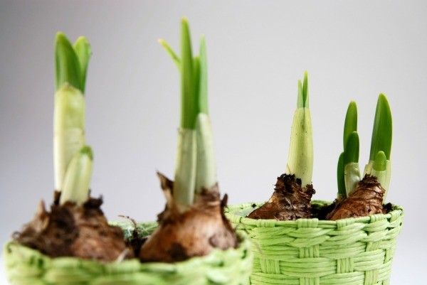 Green shoots from bulbs planted in green pots.