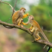 Two squirrel monkeys sitting on a branch.