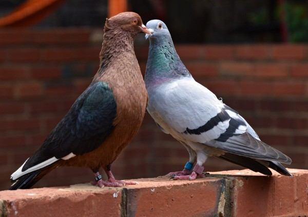 two pigeons on a brick wall at zoo