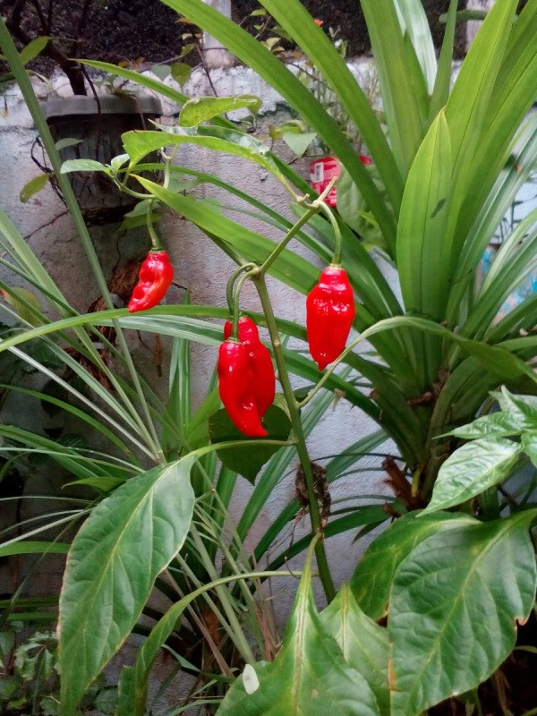 bright red chili peppers hanging on plant