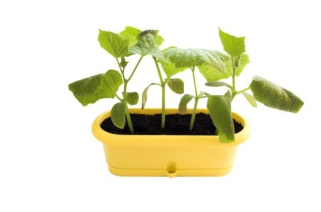 Cucumber plants growing in a container.