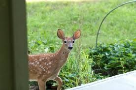 deer outside