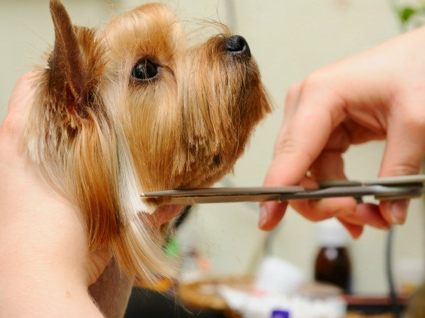 A got having it's hair cut by a groomer.