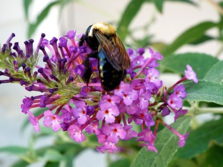 Bumble Bee On Buddleia Bloom