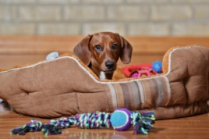 A dog in his bed, with chew toys.