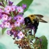 bumble bee on butterfly bush flower