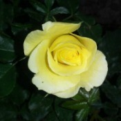 closeup of yellow rose with dark background