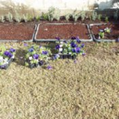 Euonymus starts and pansies