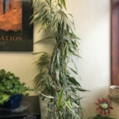 tall plant with central stalk and green and white edged narrow leaves