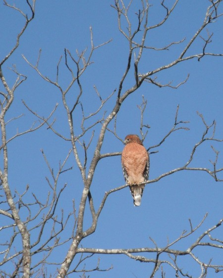 front view of hawk looking to the right sitting on leafless branch