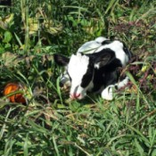 calf sleeping in a pumpkin patch