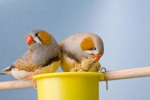 Two male zebra finches.