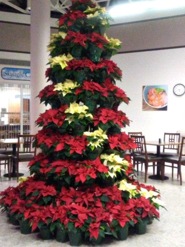 Poinsettia tree created using red and cream flowers in pots.
