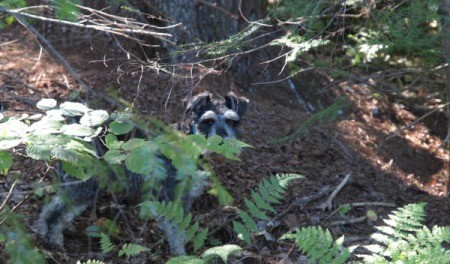 Schnauzer in the ferns and bushes