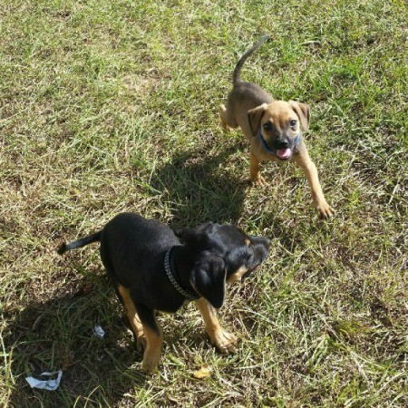 black and tan puppy and a light brownish tan and black pup