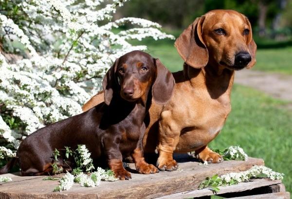 Standard And Mini Dachshund Comparison Merry Dog Life