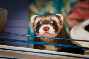 A ferret in a wire cage.