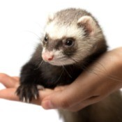A hand holding a pet ferret.