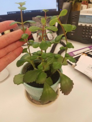 Identifying a Houseplant - hand next to slightly leggy houseplant