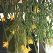 Houseplant Identification - hanging succulent plant with yellow flowers at the tips