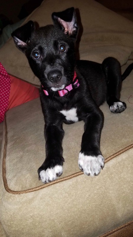 What Breed Is My Dog? - black puppy with white feet on sitting on couch