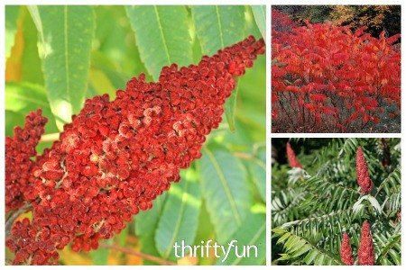 How to Grow Sumac in Your Garden