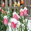 Multi-colored tulip garden covered in fluffy snow