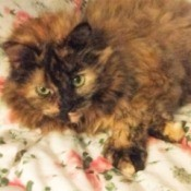 Jade (Long Haired Tortoiseshell Hemingway) - Tortie lying down with front leggs crossed