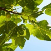 Green, unripe figs, growing on a fig tree.