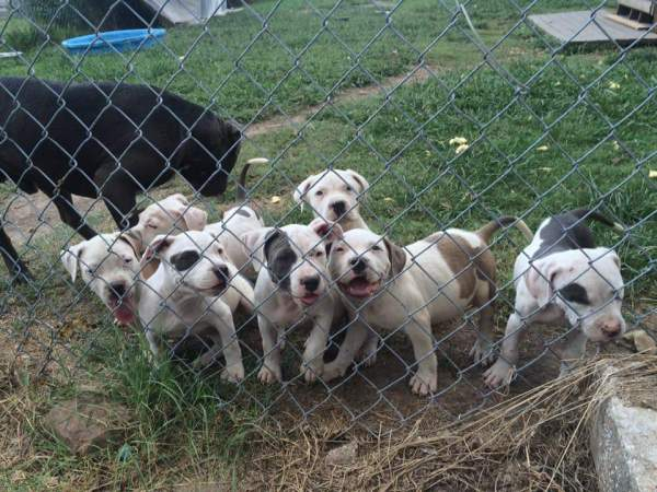 Is My Dog a Full Blooded Pit Bull? - puppies