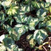 What Is The Name Of This Ivy? - variegated free and white ivy