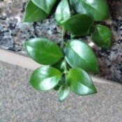 Identifying a Houseplant - plant with medium green leaves shaped like camellia leaves