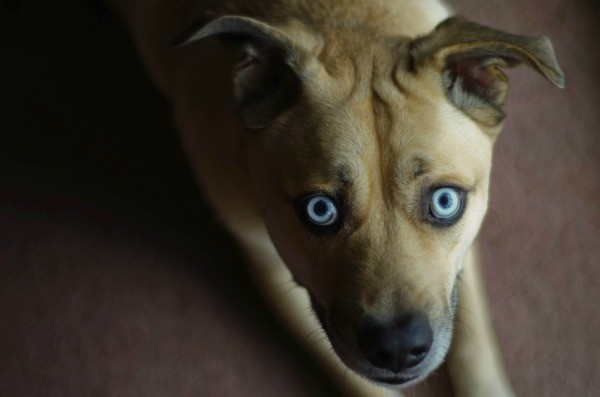 german-shepherd-collie-mix-dogs